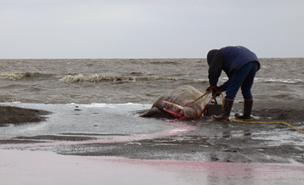Walrus corpse being harvested on the shore of the Arctic Ocean, a couple miles east of Barrow, Alaska.  (2007)