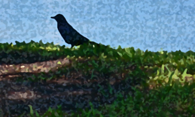 Photoshop artistic sponge rendering of a photo I took of black bird in the grass outside the Dali Museum in St. Petersburg, Florida.  (2009)